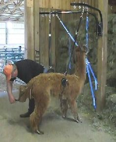 I trimmed alpaca toenails BY MYSELF today thanks to our new Paca Trapper! It is awesome and a must have! I can't believe I've been doing it the hard way for so many years!
