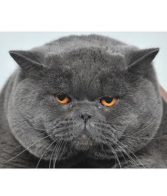 At a cat exhibition in the Kyrgyzstan's capital, Bishkek, a British Shorthair cat gives an intimidating look as he is being shown off.