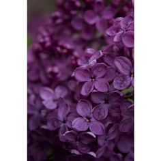 Fan favourites Purple passion ❤ liked on Polyvore featuring backgrounds, filler, flowers and pattern