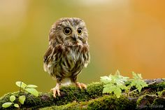 Miniature Northern Saw-whet Owl.