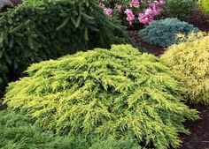 Juniperus x 'Daub's Frosted'. tall x wide. Trees And Shrubs, Evergreen, Frost, Herbs, Plants, Gardening, Sun, Image, Google Search