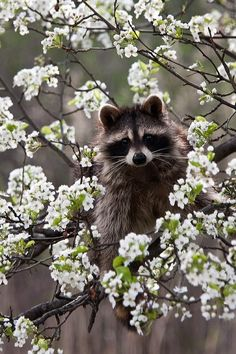 I like this picture because the color of the raccoon contrasts the color of the flowers. But there's other things to focus on instead of the raccoon, such as the flowers. All Gods Creatures, Cute Creatures, Beautiful Creatures, Animals Beautiful, Nature Animals, Baby Animals, Funny Animals, Cute Animals, Spring Animals