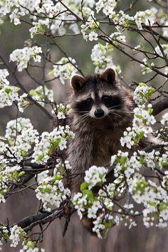 Spring racoon. Raton laveur printanier.