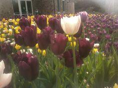 2013 Tulip Display at Boerner Botanical Garden
