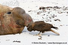 Immature striated caracara picking nose of southern elephant seal bull