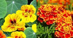 pestovanie zeleniny v apríli v kalendári lunárneho Salvia, Gardening, Plant, Culture, Sage, Lawn And Garden, Horticulture