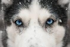 Siberian Husky  This is what my outside dog looks like. She is a Siberian Husky/Labrador mix. Beautiful