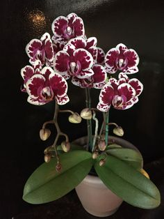 growing orchids at home Moth Orchid, Phalaenopsis Orchid, Orchid Plants, Exotic Plants, Exotic Flowers, Beautiful Flowers, Orchid Flowers, Orchid Varieties, Strange Flowers