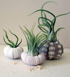 How cute are these sea urchin planters?