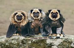 """""""The Pugs of Westeros"""" sees Roxy, Blue and Bono playing doggy versions of the main characters, including conniving King Joffrey. The pugs' o. Amor Pug, Funny Animal Pictures, Funny Animals, Cute Animals, Adorable Pictures, Pug Pictures, Amazing Pictures, Belle Photo Nature, Funny Pugs"""