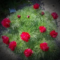 "Rubra Flora Plena Fern Leaf Peony, grows 19-21"" high. Blooms late spring"