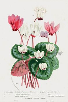 Cyclamen 1845 Louis Van Houtte Botanical Prints Tulip, Peony, Camellia, Magnolia