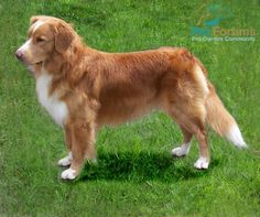 Yeah, we think Balto may be part one of these instead of Golden. This is a Nova Scotia Duck Tolling Retriever, or Toller for short. :)