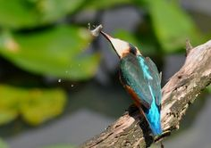 De Ijsvogel - Vogelplein BE-NL
