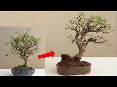 how to prune a chinese elm bonsai 2 key techniques bonsai rh pinterest com Bonsai Shapes Bonsai Shapes