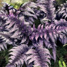 Burgundy Lace Fern