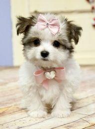 #morkie #dogs #cute   I'll take her! Bernie needs a playmate ;)