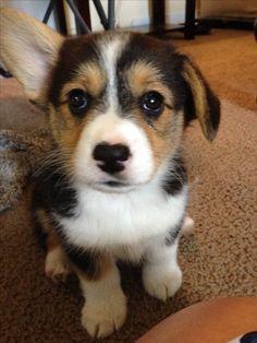 Pembroke Welsh Corgi #corgi #tricolor #puppy