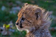 cheetah cub -