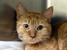 TO BE DESTROYED 10/8/14 ** PRETTY ORANGE KITTY!! Mari tolerates attention and petting but may be fearful or stressed in the shelter. She may be a little more independent, and may need time to warm up to her new home. ** Manhattan Center  My name is MARI. My Animal ID # is A1014981. I am a female org tabby and white domestic sh mix. The shelter thinks I am about 2 YEARS old.  I came in the shelter as a STRAY on 09/22/2014 from NY 10451