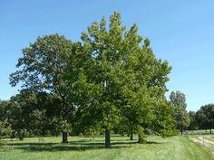 Good tree to plant in spring: Sweetgum Tree