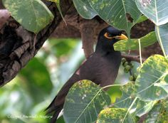 Spot the mynah :) playing hide and seek.