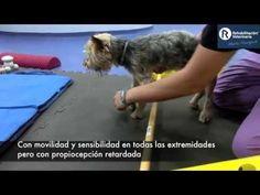 Rehabilitación Veterinaria: Lesión medular cervical - YouTube