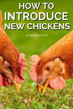 Thinking of expanding your flock? It's a little trickier than just buying new chickens and plunking them into your coop. Chickens live in a hierarchy and it is important to respect that - failure to do so could even result in death! #chickens #backyardfarming #homestead #animals