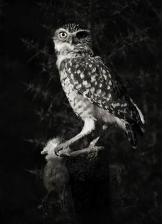 Owl. Black and white photography. For more photography, visit our site: http://www.photographytalk.com/ photography black white, black and white photography