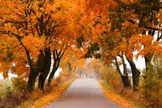 Autumn maple road. - Autumn - road with colorful, vibrant maple trees. Fall in Poland.