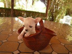 Chihuahua (chiguagua) mini toy  - Criadero Cantillana