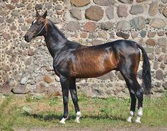 Stallion Uzboi (Orlan-Dzhemangul) 2005 y.b. line Gelishikli