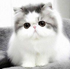 Kucing-Persia-Cantik.jpg (600×589)