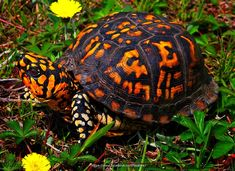 The Common Box Turtle