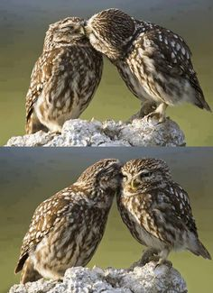 Cutest owls ever while listening to of monsters and men love love love.