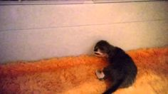 Quest Devonland, 15 дней, котенок девон-рекс