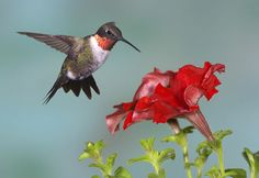 Attracting Hummingbirds to the Garden - Maine Garden Ideas Find out what annuals and perennials to grow to attract hummingbirds to your garden