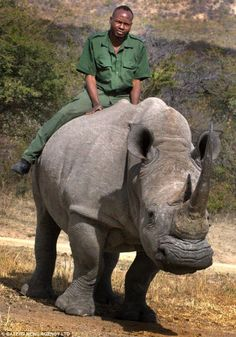 Remarkable: Game warden James Ndlolvu rides white bull rhino Dennis, who was critically injured after a fight with another animal