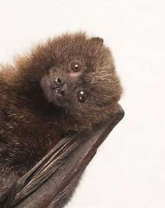 Bats are an important part of our ecosystem and have been long abused and mightily mistreated because they have been misunderstood and gotten a downright bad rep.