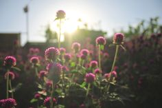 """Gomphrena Globosa"" Landscape Photography - Epic Flowers with sunset #DiditSeptiadi #landscape #Photography #flowers"