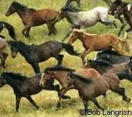 Herd of cayuse indian pony's