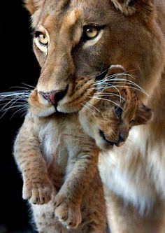 Cute Lion Cub being carried by Mom From Pin Board – Animal Kingdom Animals And Pets, Baby Animals, Cute Animals, Wild Animals, Royal Animals, Beautiful Cats, Animals Beautiful, Big Cats, Cats And Kittens