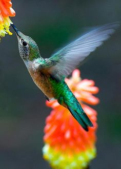 Colorful Birds -Hummingbird - They're so little but so full of energy. All Birds, Cute Birds, Pretty Birds, Little Birds, Beautiful Birds, Animals Beautiful, Especie Animal, Amor Animal, Tiny Bird