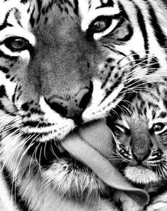 black and white tiger | Tumblr