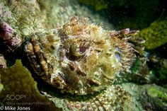 Red Rock Cod star by mikejonesdive #nature #photooftheday #amazing #picoftheday #sea #underwater