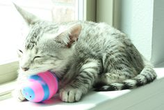 F3 Savannah kitten- available- email hello@southernspotscattery.com for more info