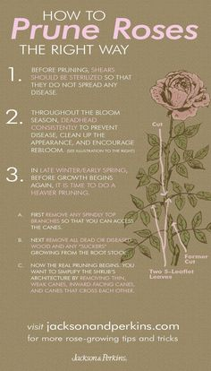 How to prune roses the right way. Gardening tips Rose - How to prune roses the right way. Gardening tips Rose How to prune roses the right way. Gardening tips Rose - Garden Care, Container Gardening, Gardening Tips, Vegetable Gardening, Organic Gardening, Gardening Quotes, Texas Gardening, Plantas Indoor, Rose Care