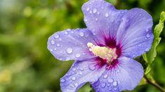Ibišek syrský - modrofialový květ s vínovým středem. Flowers, Plants, Gardening, Compost, Lawn And Garden, Plant, Royal Icing Flowers, Flower, Florals
