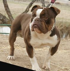 Old English Bulldog | Old-English-Bulldog-Chocolate-Tri