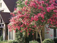 Crepe Myrtle: Essential Southern Plant | With its blooms and attractive bark, this flowering tree will please the eye year-round.
